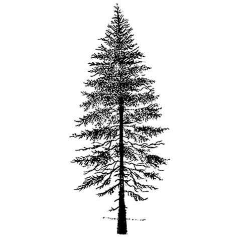 douglas fir tree drawing www pixshark com images