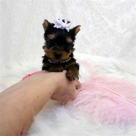 yorkie on sale pin teacup yorkies yorkie on
