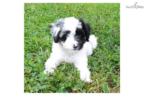 mini aussiedoodle rescue aussiedoodle for sale for 1 000 near cumberland valley