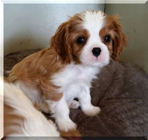 breeders in missouri cavalier king charles spaniel puppies breeds picture