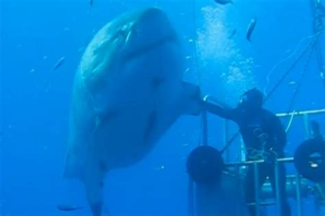 film blue mexico deep blue the biggest shark ever caught on film is a