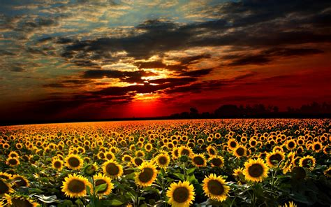 sunflower field sunrise over sunflower fields desktop wallpaper