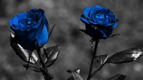 hd wallpaper blue nature blue rose flower nature hd wallpaper hd wallpaper of