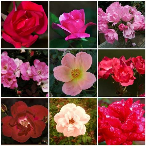 knockout colors knockout roses the most popular the tree
