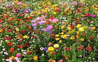 Wild Flower Meadow Seeds - bulk wildflower seeds buy wild flower seed online