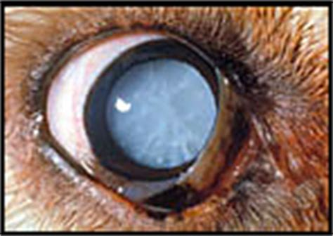how much is cataract surgery for dogs cataract in dogs