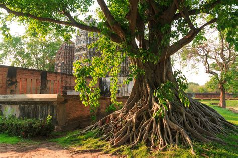 how to grow bodhi trees from seed ebay