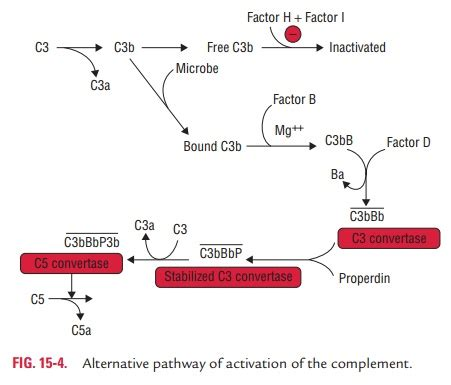 C3bb activation of complement study material lecturing notes assignment reference wiki description