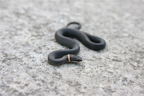 black snake with orange ring around neck diadophis punctatus edwardsii