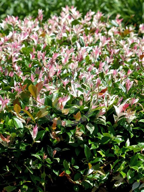 trachelospermum jasminoides tricolor variegated star jasmine information photos