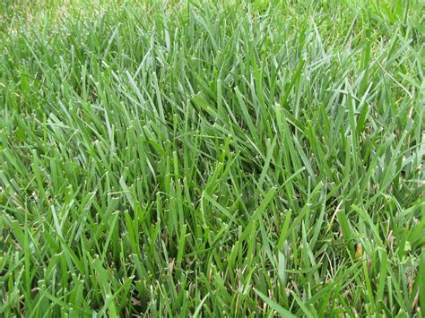 type of grass for garden crab grass how to get rid summer