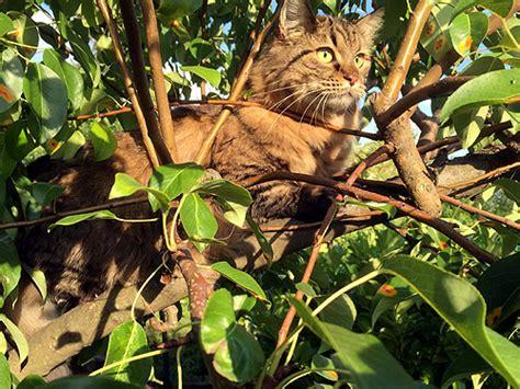 wie weit gehen katzen zuhause weg sibirische waldkatzen vom hohen timp