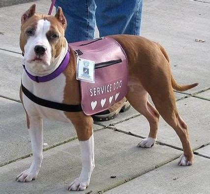 how service dogs are trained quot pit bull quot service manifesto