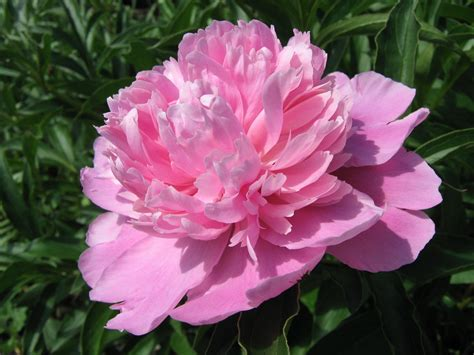 peony flowers peony flower wallpapers wallpaper cave