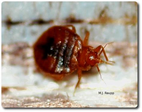 how common are bed bugs avoiding bed bug blues common bed bug cimex lectularius