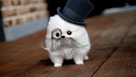 fancy puppy top hat meh ro