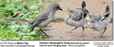mockingbird predators northern mockingbirds mimus polyglottos of birds