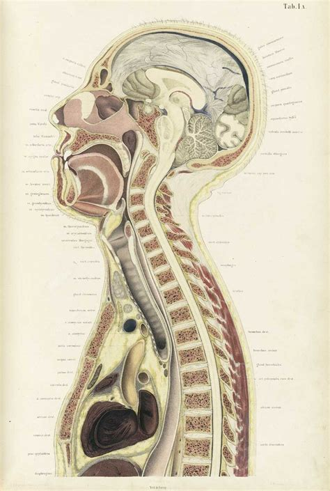 sagittal cross section 507 best antique anatomy images on pinterest anatomy art
