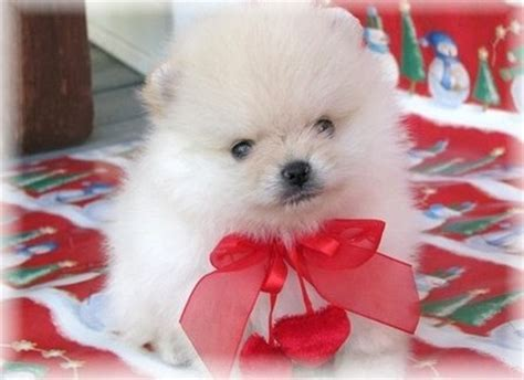 trained pomeranian puppies sale pictures of pomeranian puppies and their descriptions breeds picture