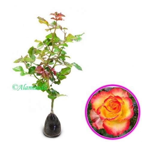 Pupuk Organik Bunga Mawar jual tanaman mawar kombi hp 085608566034