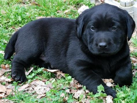lab puppies for sale in va labrador retriever puppies for sale richmond va dogs our friends photo