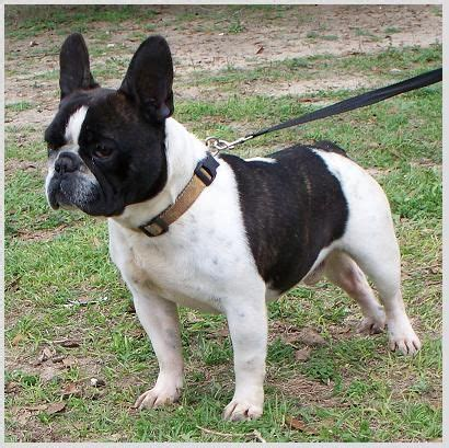 pug boston terrier mix health problems 25 best ideas about bulldog temperament on grey bulldog