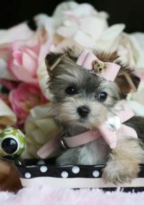 adorable yorkie puppies for adoption pets augusta ga free classified ads