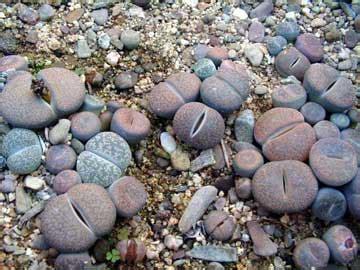 imagenes de rocas raras lithops piedras vivas piedras vivientes cacto piedra