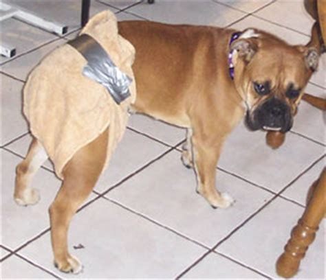 diapers for dogs in heat the duct s gallery