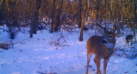 hd trailcam pictures of wolves in winter what is a 3rd beam buck averagehunter