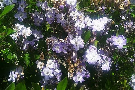 plantfiles pictures brazilian sky flower duranta
