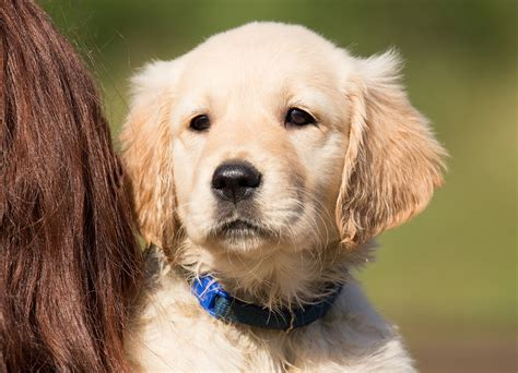 hund golden retriever gratis foto hund valp golden retriever gratis bild p 229 pixabay 1196647