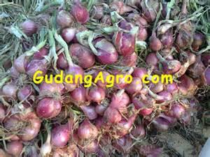 Bibit Bawang Merah Thailand 2015 171 suplier bibit bawang merah lokal 171 page 2