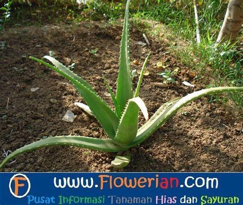 Bibit Lidah Buaya cara menanam lidah buaya di pot yang mudah tanaman hias bunga buah dan sayur
