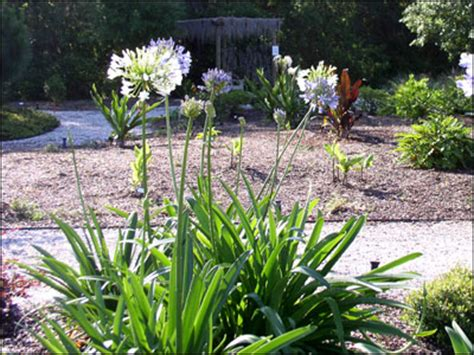 of the nile plants 28 images agapanthus blooms with