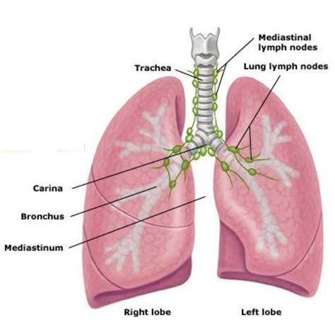 sections of the lungs free diagrams of the lungs diagram site