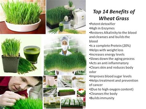 Wheatgrass Detox Liver by 1000 Ideas About Wheat Grass Benefits On