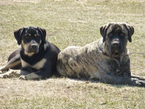 mastiff puppies for sale mn becker for sale puppies for sale