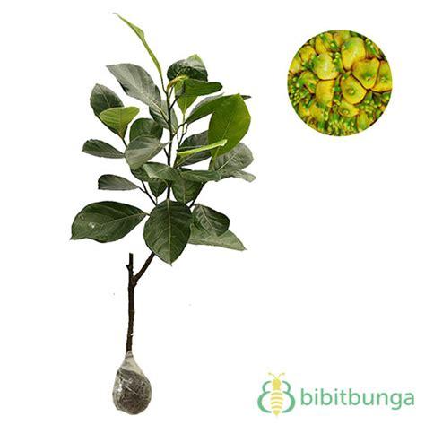 Tanaman Nangka Mini tanaman nangka mini jackfruit bibitbunga