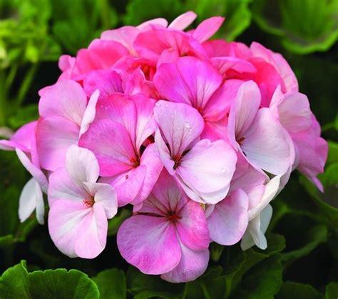 fiori geranio geranio piante in giardino