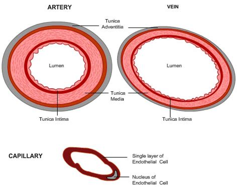blood vessel cross section diagram of arteries veins and capillaries