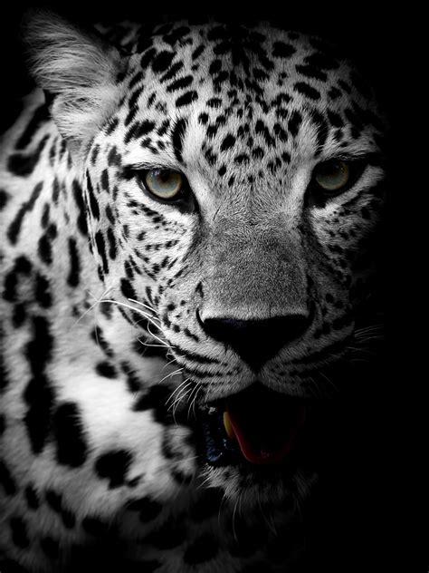 Wallpaper Leopard, Dark background, HD, 4K, Animals, #8559