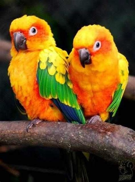 mexicanlove bird 17 best images about sun conure parrots on beautiful posts and golden sun