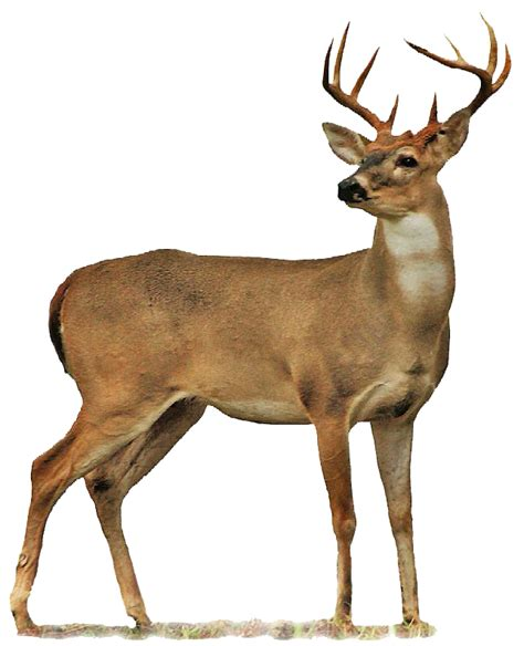 Buck Deer PNG Transparent Buck Deer.PNG Images. | PlusPNG Whitetail Buck Drawings