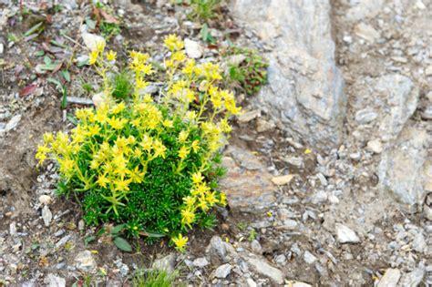 giardini rocciosi piante giardino roccioso con piante alpine pollicegreen