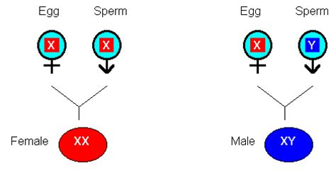 Biology Review Y Chromosome Sperm
