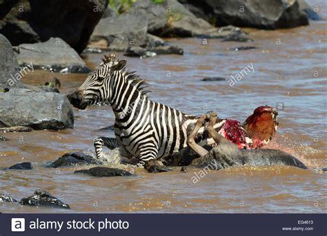 Image Gallery nile crocodile attacks