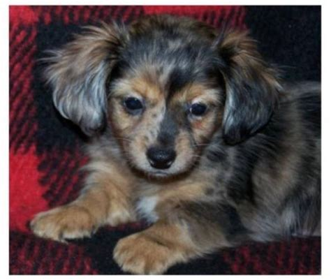 chiweenie puppies for sale pin chiweenie puppies for sale image search results on
