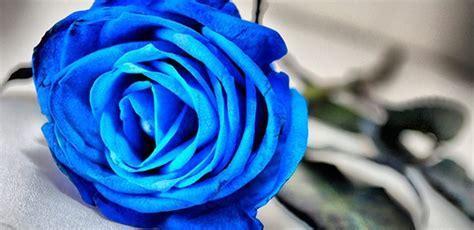 imagenes de flores azules brillantes rosas azules fotos imagui
