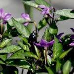 Benih Cabe Purple Tiger Bibit Cabai Hias bibit cabe peruvian purple